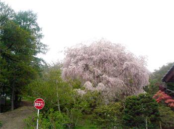 前山寺の桜