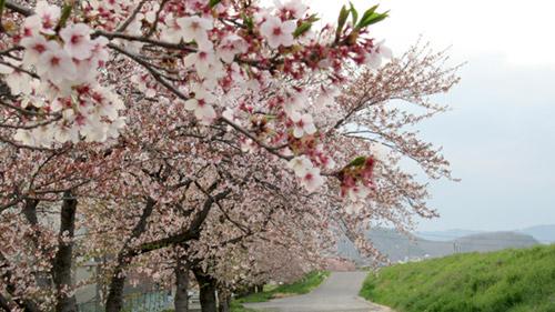 選挙も、桜も終わり