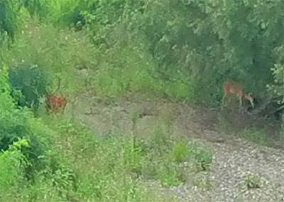 鹿が昭和橋下にまた来ています