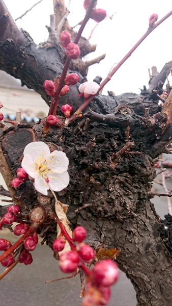 庭の梅が咲きました